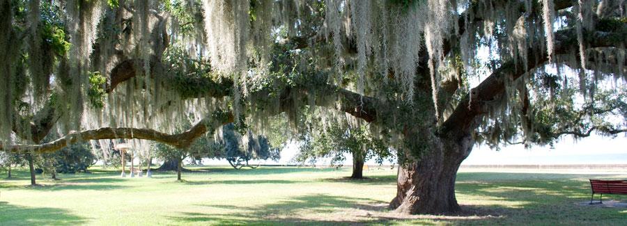 Live Oaks in Covington, Louisiana